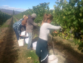 Harvest 2015 first grapes being picked